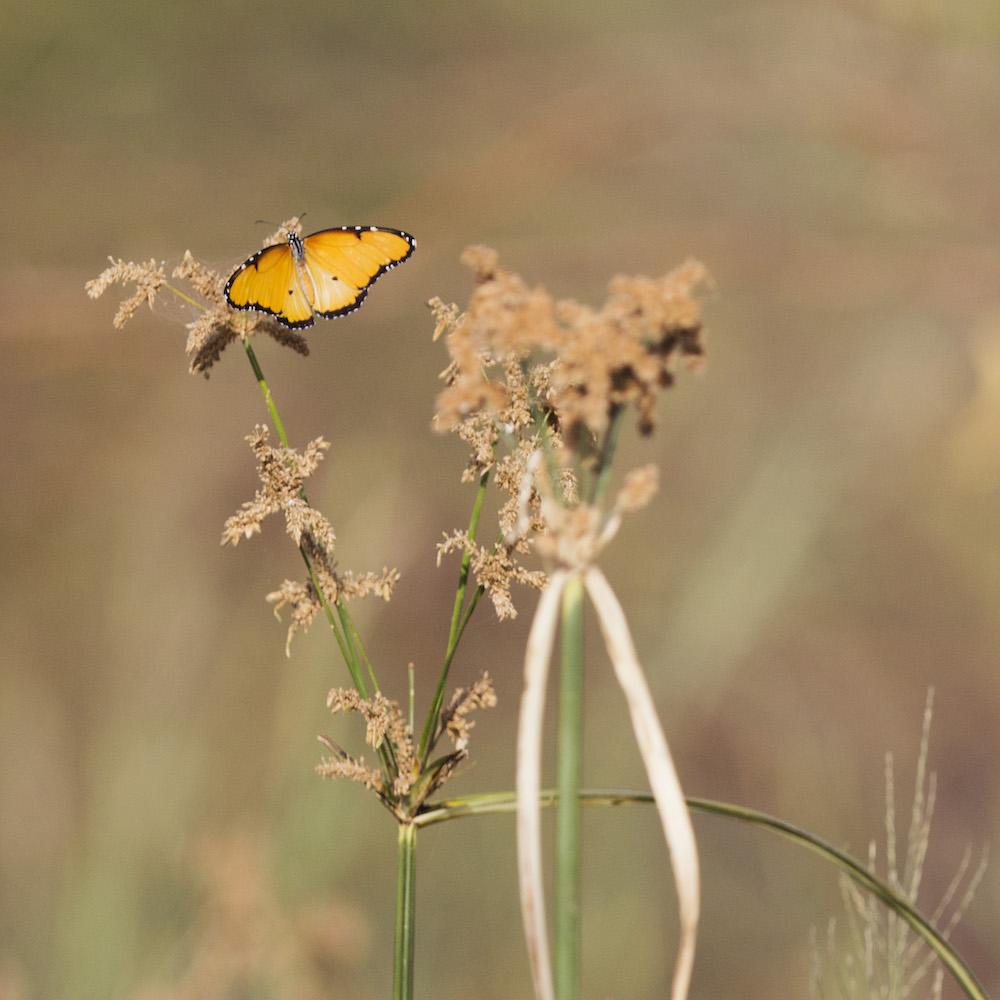 TCheriot Baringo butterfly